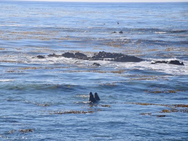 Walczące o samice słonie morskie