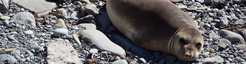 lew morski kalifornia usa california sea lion