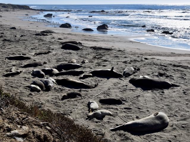 Widok na inną grupę słoni morskich w bardziej turystycznym punkcie